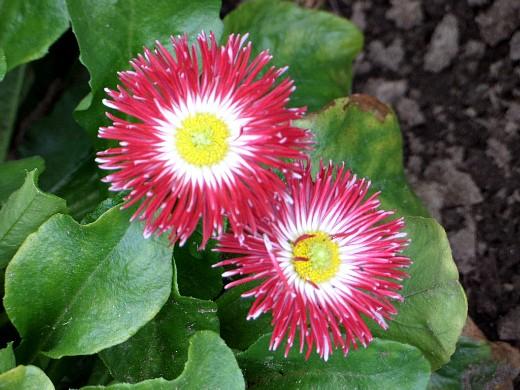 цветы маргаритки, выращивание - сорт хабанера