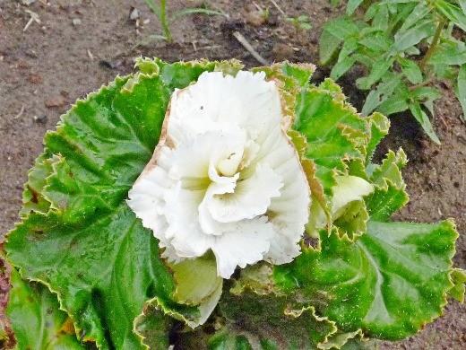 цветы бегония клубневая, посадка и уход