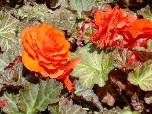 цветы бегония клубневая, посадка и уход - на дачной клумбе
