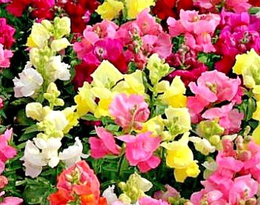 цветы левкои посадка, выращивание из семян