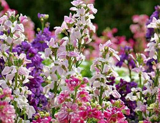 левкои посадка, выращивание из семян - цветы на даче