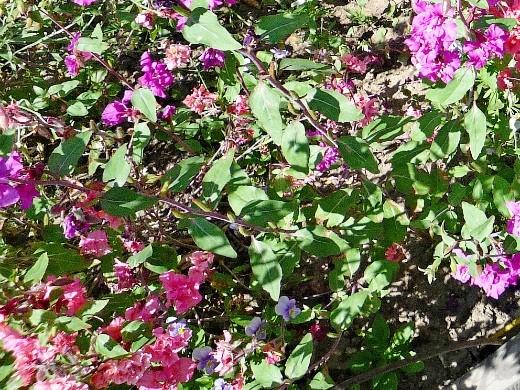 левкои посадка, выращивание из семян - на дачной клумбе