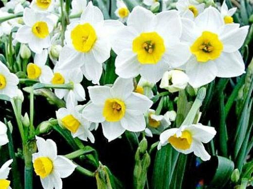 цветы нарциссы посадка и уход - на даче