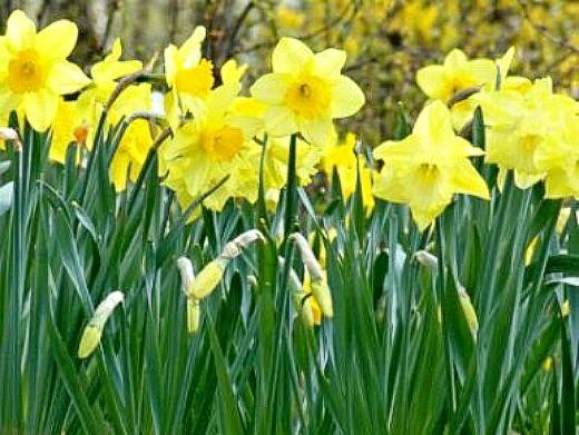 цветы нарциссы посадка и уход - желтые