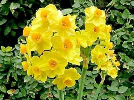 цветы нарциссы посадка и уход на даче