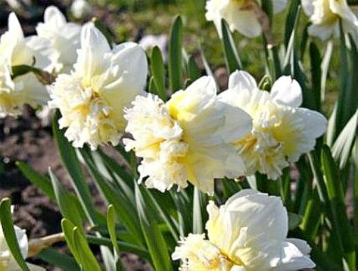 нарциссы посадка и уход - махровый сорт цветов