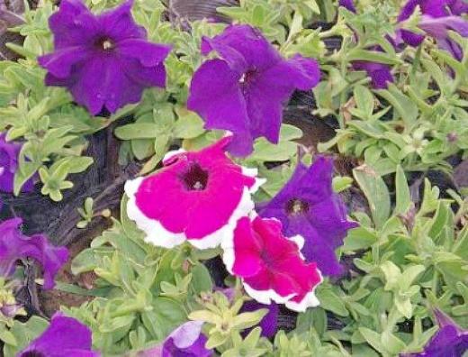 петуния, выращивание из семян в домашних условиях - простой сорт цветов