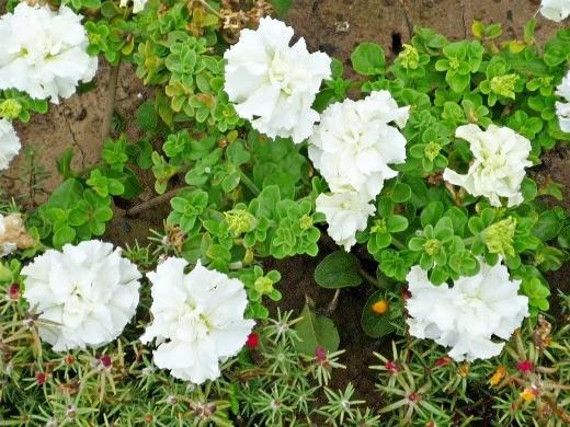 петуния, выращивание из семян в домашних условиях - махровые, белые