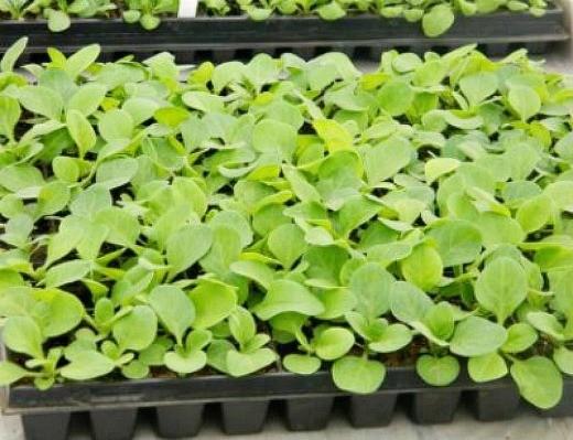 петуния, выращивание из семян в домашних условиях - в кассетах
