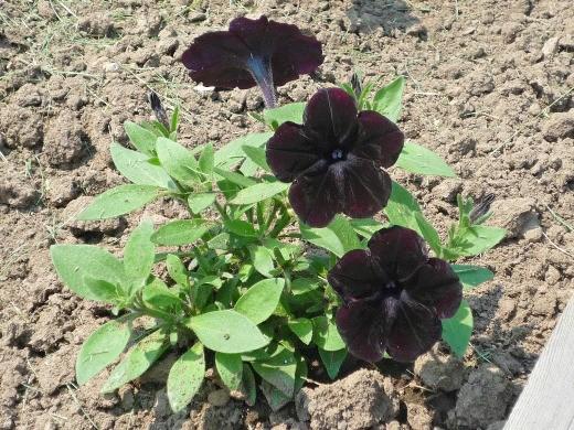 петуния, выращивание из семян в домашних условиях - посадка в грунт
