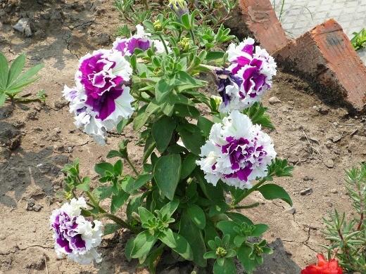 петуния, выращивание из семян в домашних условиях - двуцветная махровая на дачной клумбе