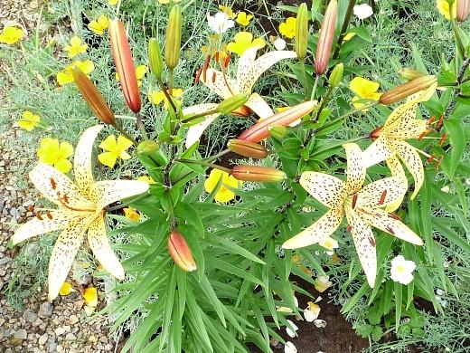 посадка и выращивание тигровых лилий