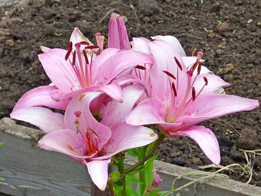 посадка и выращивание лилий - азиатские, розовые