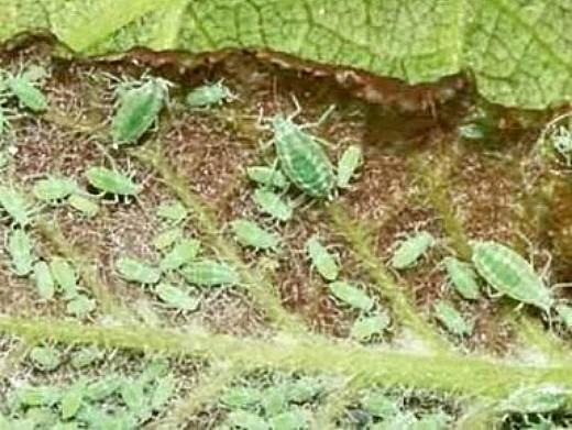 тля на растениях, как избавиться