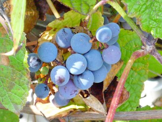 выращивание винограда на даче 1-1