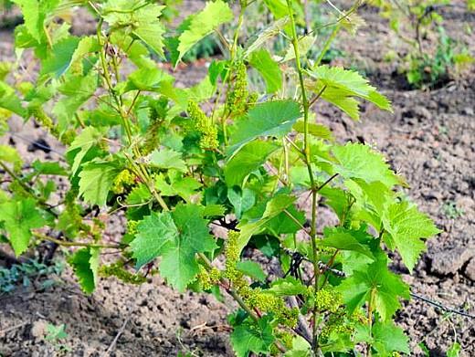 выращивание винограда на даче 1-4