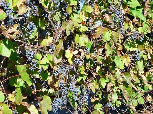 выращивание винограда на даче 1-7