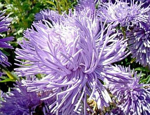 цветы астры, посадка и выращивание