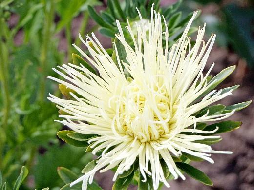 цветы астры, посадка и выращивание на дачном участке