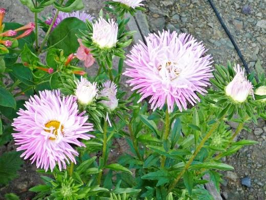 цветы астры, посадка и выращивание - на дачной клумбе