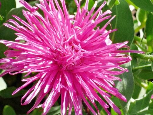 астры, посадка и выращивание - цветы на клумбе