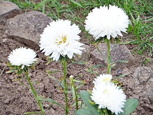 астры, посадка и выращивание - цветы на дачной клумбе