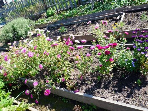 цветы астры, посадка на дачной клумбе и выращивание