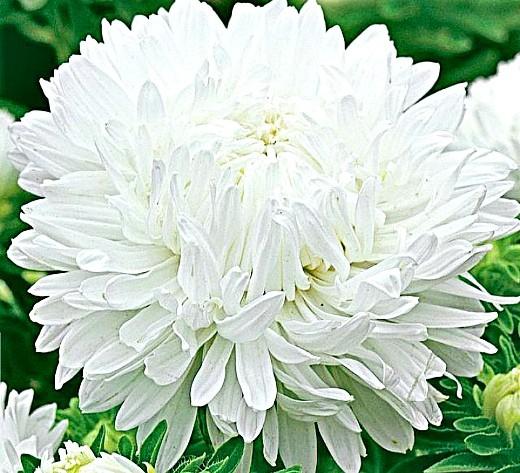 астры, посадка и выращивание - семена сорт королевская, белая