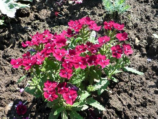 цветы вербена, посадка и уход - на даче