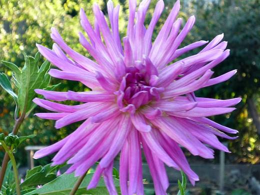 выращивание георгин, посадка и уход - цветы на даче