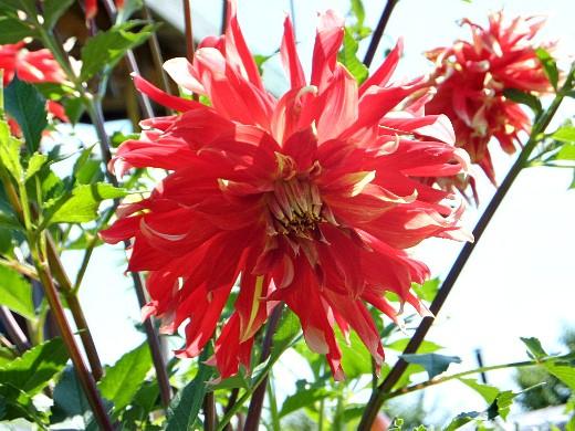 выращивание георгин, посадка и уход - цветы на дачном участке