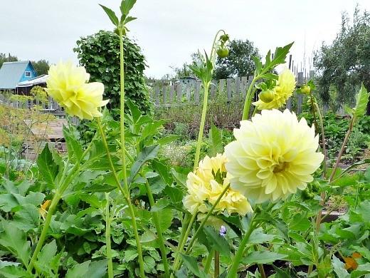 выращивание цветов георгин, посадка на даче и уход