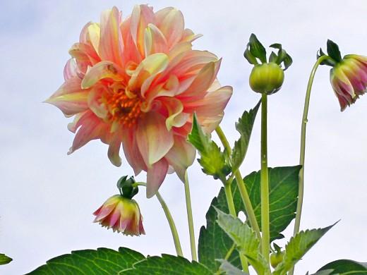 выращивание георгин, посадка и уход - цветы на фоне неба