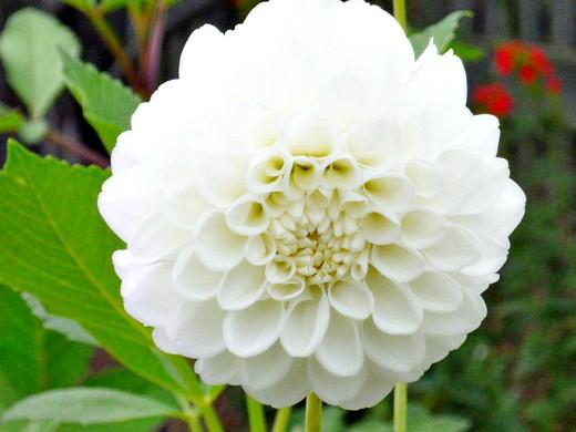 выращивание георгин, посадка и уход - цветы, белые