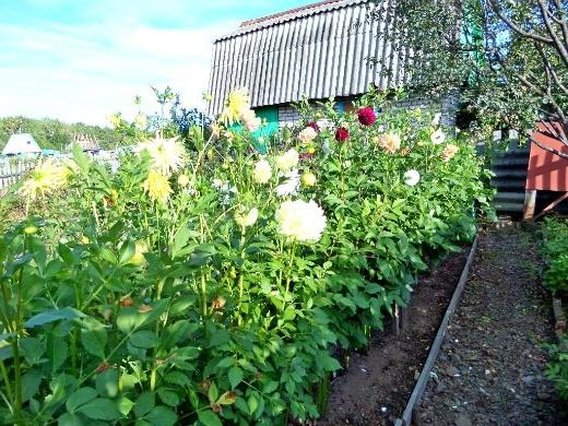 выращивание георгин, посадка и уход - цветение на дачной клумбе