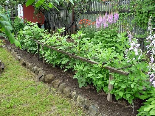 выращивание георгин на даче, посадка и уход - через месяц цветы зацветут