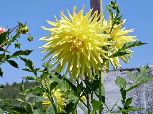 выращивание георгин, посадка и уход - цветы, желтые