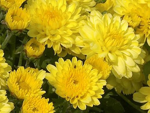 выращивание хризантем, посадка на даче и уход