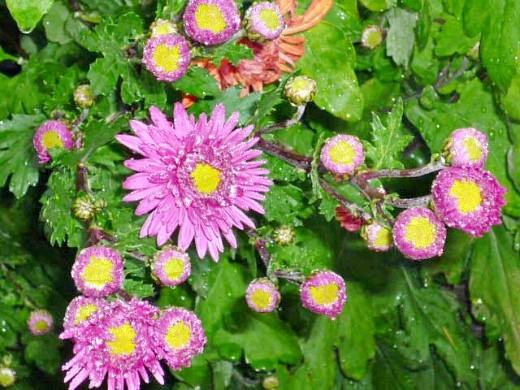 выращивание хризантем, посадка цветов и уход