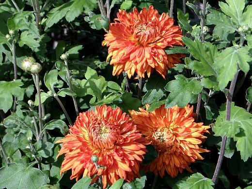 выращивание цветов хризантем, посадка и уход на дачном участке