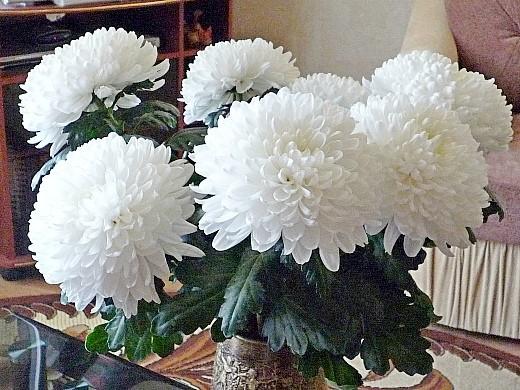 выращивание хризантем, посадка и уход - белые цветы в виде шара