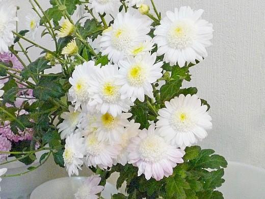 выращивание хризантем, посадка и уход за цветами - белые