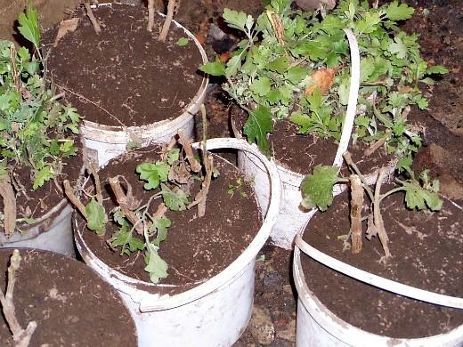 выращивание хризантем, посадка и уход - цветы хранятся в подвале в емкостях