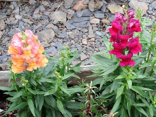 цветы львиный зев, посадка на дачной клумбе и уход
