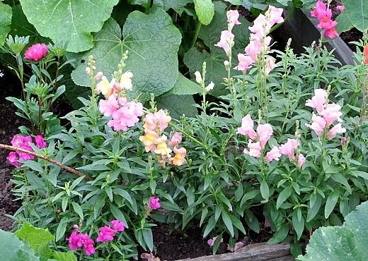 цветы львиный зев, посадка на клумбе и уход