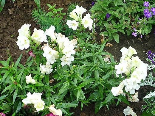 львиный зев, посадка и уход - белые цветы
