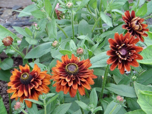 цветы рудбекия, посадка и уход на дачной клумбе