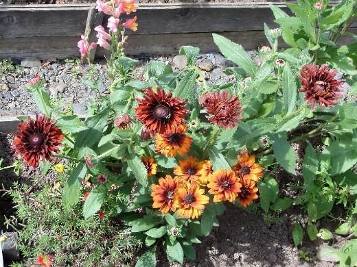 цветы рудбекия, посадка и уход