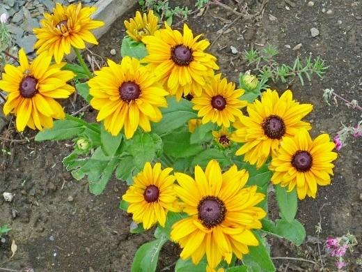 цветы рудбекия, посадка и уход - желтые