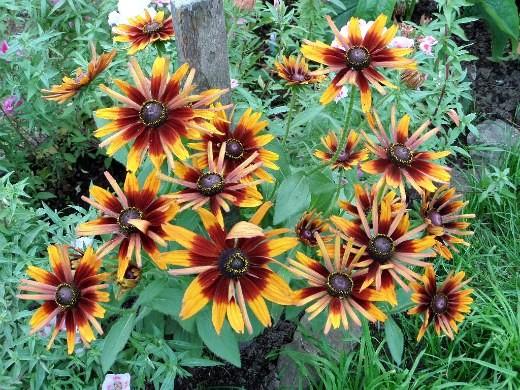 цветы рудбекия, посадка и уход на клумбе